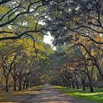 Savannah Georgia Oak Tree Covered Lane