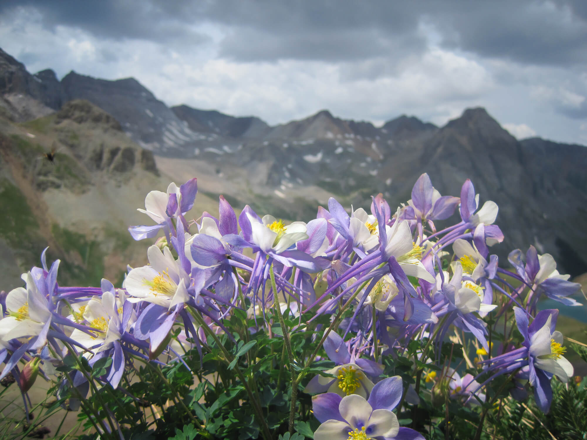Columbines on the slopes of Mount Sneffels in southern Colorado