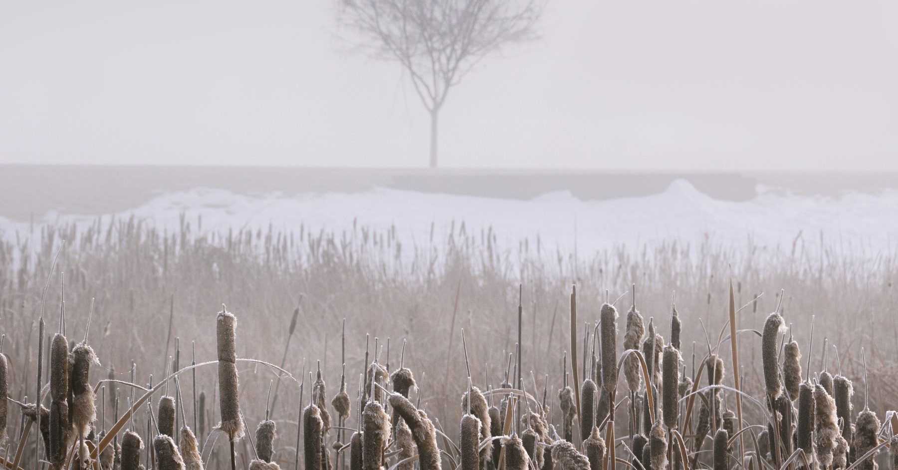 Snow on Cattails on a Foggy Winter Morning #intentionallylost